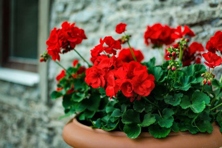 Ilustrasi tanaman geranium merah