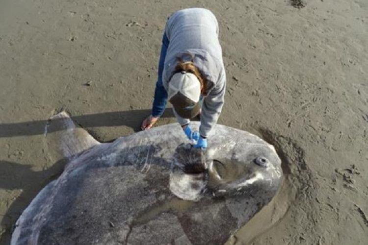 Ikan mola-mola langka terdampar di California