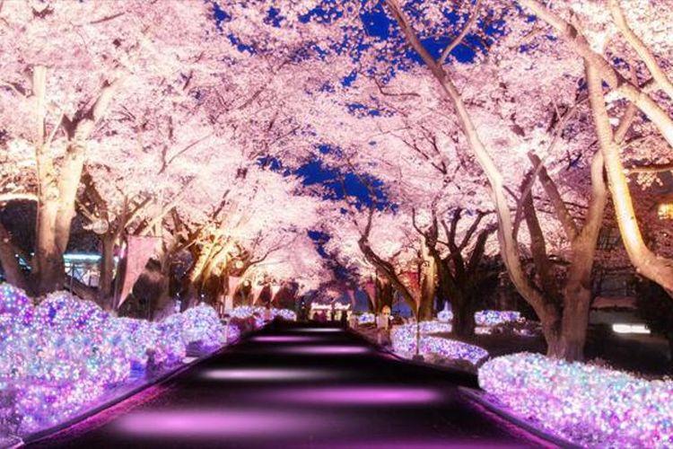 Jajaran pohon sakura sepanjang 180 meter di light-up dengan warna dasar merah muda sama seperti bunga sakura.