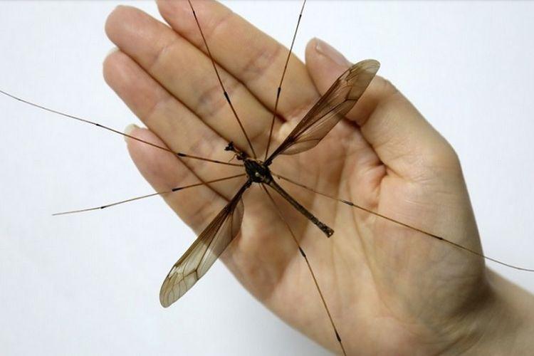 Nyamuk terbesar di dunia