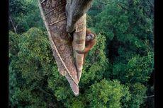 Penggundulan Hutan Ancam 1.000 Orangutan di Kalimantan