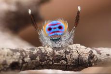 Punya Daya Pikat Tubuh Berwarna Pelangi, Ini Rahasia Laba-laba Merak
