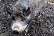 Seekor Babi Seberat 300 Kg Dilarang Jalan-jalan di Kota Ini