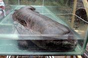 Sering Dijadikan Makanan, Salamander Raksasa China Terancam Punah