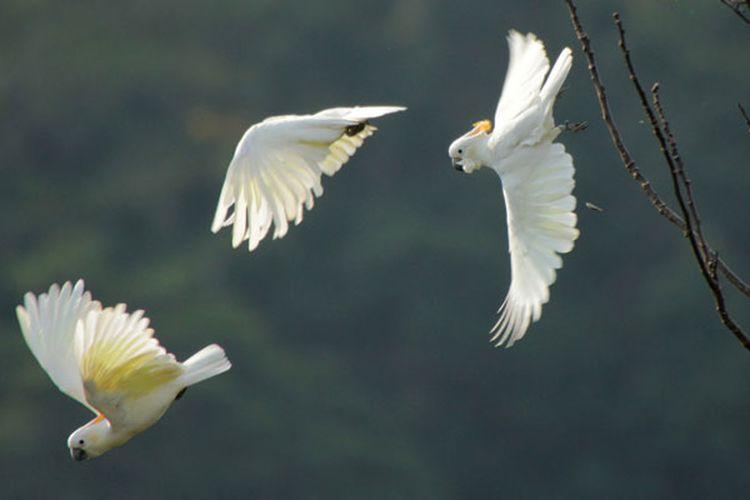 Burung Kakatua Jambul Jingga hanya hidup di hutan di Pulau Sumba, Nusa Tenggara Timur. Burung ini menjadi burung endemik di kawasan hutan Taman Nasional MataLawa Sumba. Banyak pengamat, peneliti Burung mengeksplorasi keunikan burung di Pulau Sumba.