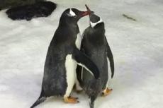 Kali Pertama, Penguin Sesama Jenis di Australia DIberi Telur Adopsi