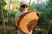 Serunya Ikut Memanen Madu Hutan Flores, Sempat Disengat Lebah!