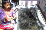 Konservasi Penyu di Kulon Progo, Hidup Segan Mati Tak Mau