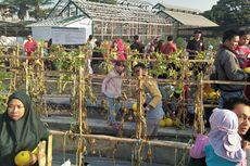 Serunya Petik Sayuran dan Buah Langsung ala Pedesaan di Kota Gresik