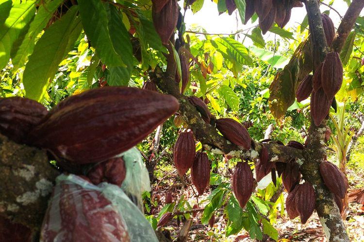 Kebun kakao milik salah satu petani di Desa Lodes, Kecamatan Sebatik, Kalimantan Utara. Penjualan kakao di wilayah ini bergantung pada kota Tawau di Malaysia. Kakao milik petani hanya dihargai Rp 12.000-Rp 21.000 per kilogram.