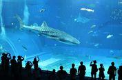 Okinawa Churaumi Aquarium, Obyek Wisata Wajib Kunjungi saat Liburan di Jepang