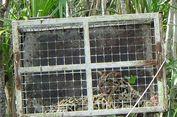Terjebak di Hutan Rehabilitasi, Seekor Macan Dahan Ditemukan di Pangkalan Bun