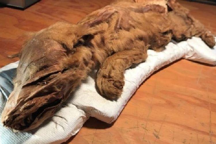 Mumi anak serigala zaman es yang ditemukan di Kanada utara