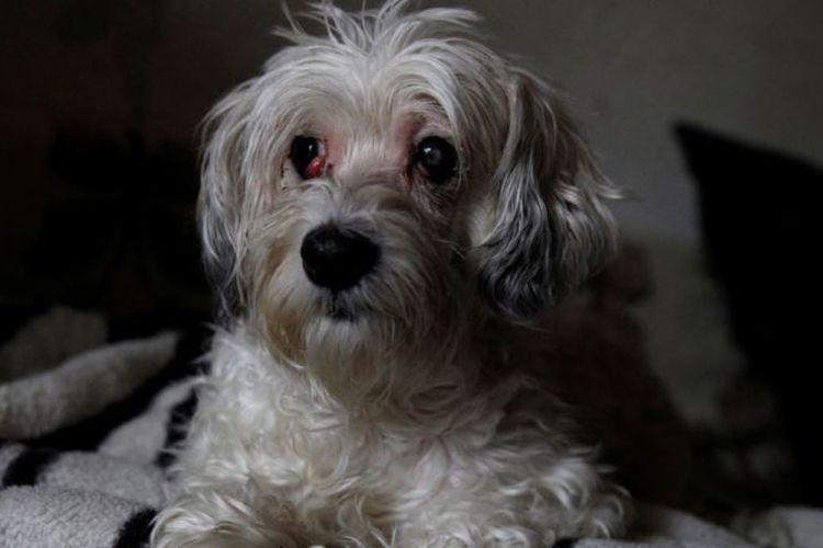 Zsazsa, anjing jenis Havanese berusia sembilan tahun yang ditemukan tengah menjaga jenazah pemiliknya selama satu pekan.