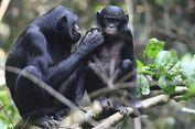 Tak Cuma manusia, Simpanse Ini Juga Suka Ikut Campur Urusan Jodoh Anak