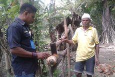 Melihat Proses Pembuatan Moke Secara Tradisional di Sikka Flores