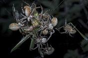Berkumpul Bikin Keberanian Laba-laba Ini Makin Meningkat, Kok Bisa?