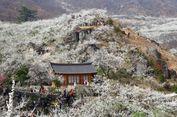 Deretan Acara Musim Semi yang Menyajikan Keindahan Sakura di Korea