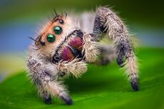 Mengenal Laba-laba Pelompat, yang Mungkin Jadi Pelopor Era Mikrorobot