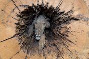 Terjebak 60 Tahun dalam Rongga Pohon, Tubuh Anjing Ini Utuh, Kok Bisa?