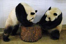 Australia Sepakat Perpanjang Sewa Dua Ekor Panda dari China