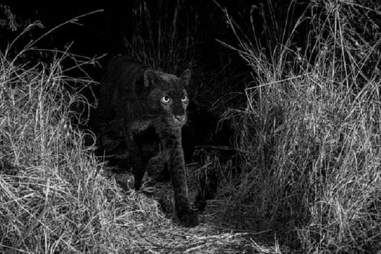 Pertama dalam 100 tahun, Penampakan macan tutul hitam tertangkap kamera