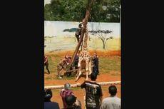 Leher Tersangkut Pohon, Seekor Jerapah di Kebun Binatang China Mati