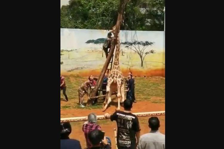 Petugas kebun binatang Kunming di China saat berusaha membebaskan leher jerapah yang terjepit di antara dahan pohon.