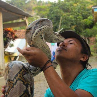 Munding Aji (30), seorang pemuda dari RT 2 RW 1 Desa Gunungsari, Kecamatan Pejagoan, Kebumen, Jawa Tengah, mengoleksi 10 ular piton besar. Dua di antaranya bernama Syahrini dan Rambo.