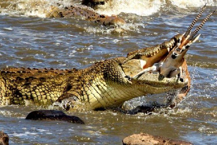 Rusa dilahap buaya raksasa di sebuah sungai di Kenya