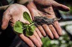 Rekayasa Fotosintesis Bikin Tumbuhan Lebih Subur dan Jumlah Panen Naik