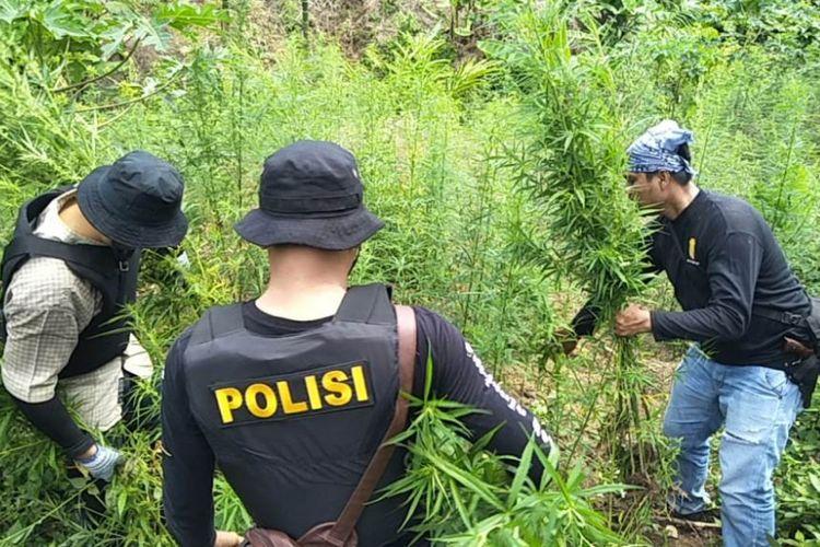 Polisi mencabut batang ganja setinggi satu meter di Desa Lancok, Kecamatan Sawang, Kabupaten Aceh Utara, Kamis (13/9/2018)