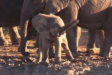 Mengapa Bayi Gajah Ini Memutar Belalainya? Ahli Menjawab