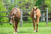 Ternyata, Dengusan Kuda adalah Tanda Mereka Bahagia