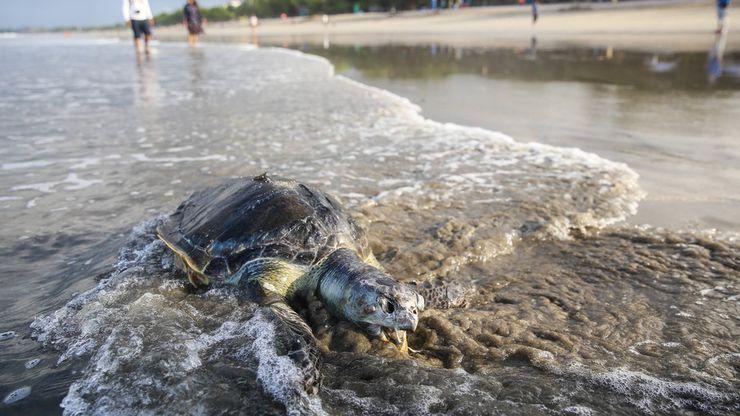 Penyu Mati Terdampar di Pantai Kuta