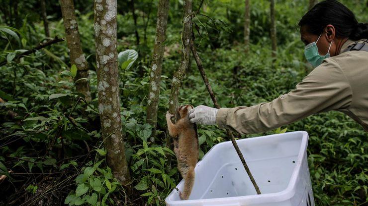 International Animal Rescue Lepasliarkan 34 Ekor Kukang
