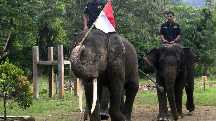 Melihat Gajah Sumatera Jadi Pasukan Pengibar Bendera