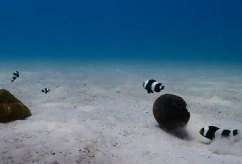 Terekam Kamera, Ikan Badut Mampu Pindahkan Objek 10 Kali Beratnya