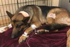 Seekor Anjing Tertembak Tiga Kali demi Lindungi Tuannya dari Perampok