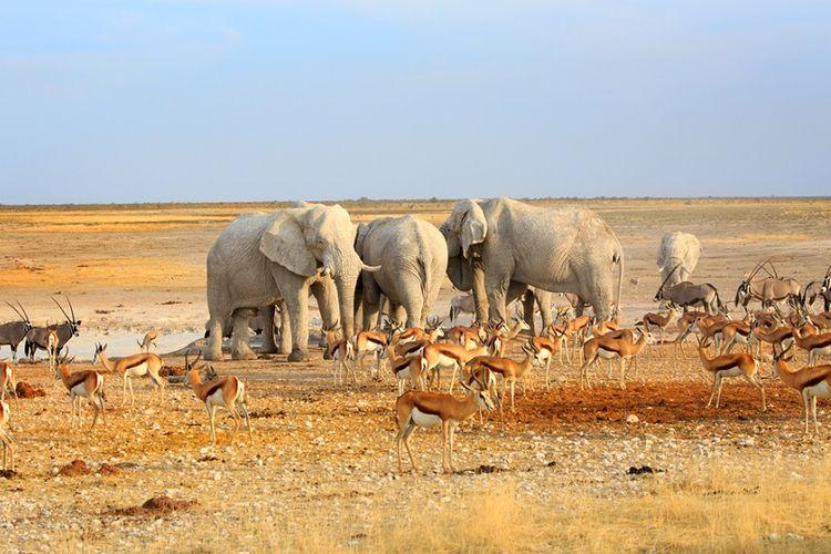 Kawanan satwa liar terlihat berkumpul di sumber air di Taman Nasional Ethosa, Namibia.
