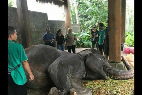 Sebelum Mati, Kondisi Gajah Rambo Sangat Lemah