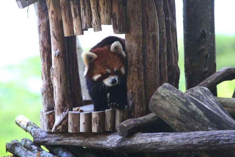 Seekor panda merah (Ailurus fulgens) asal China diperlihatkan di Istana Panda Indonesia, Taman Safari Indonesia Bogor, Jawa Barat, Rabu (1/11/2017). Binatang langka berbulu merah  ini daerah persebarannya berada di Asia Tengah dan juga ditemukan di hutan pegunungan himalaya, Bhutan, India, Laos, Myanmar, dan Nepal.