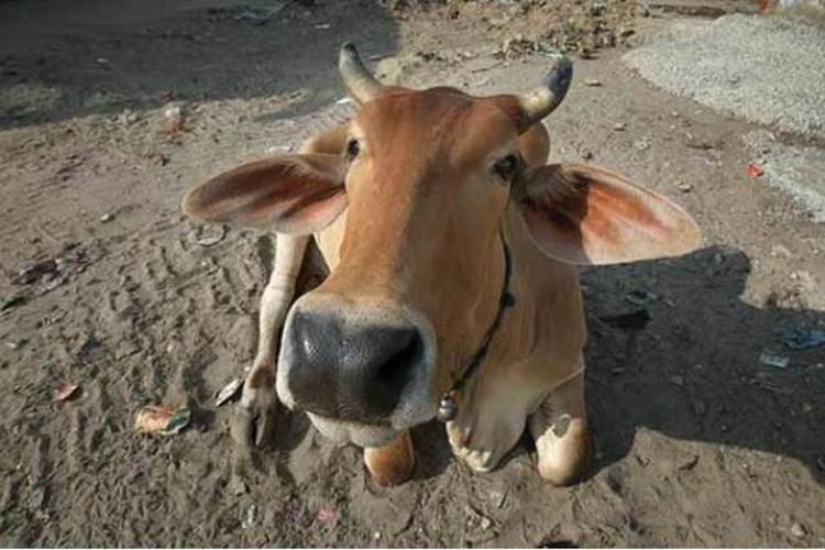 Seekor sapi masuk ke area Bandara Internasional Sardar Vallabhbhai Patel, India, pada Kamis (11/1/2018) membuat dua penerbangan terpaksa dialihkan.