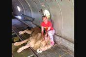 Foto dengan Singa, Perempuan Rusia Dicakar dan Diseret Si Raja Hutan