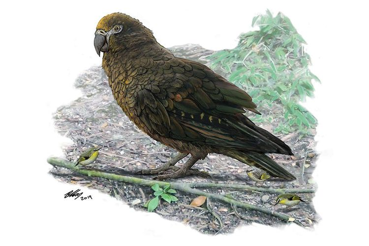 Burung beo raksasa tingginya semeter atau sepinggang orang dewasa hidup di Selandia Baru, 19 juta tahun lalu.