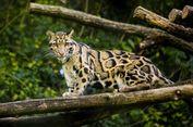 Dikira Punah, Macan Tutul Taiwan Muncul Lagi Setelah 30 Tahun Sembunyi
