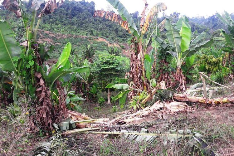 Kebun pisang yang rusak akibat masuk gajah liar di Desa Cot Girek, Kecamatan Cot Girek, Kabupaten Aceh Utara, Aceh, Rabu (12/6/2019)