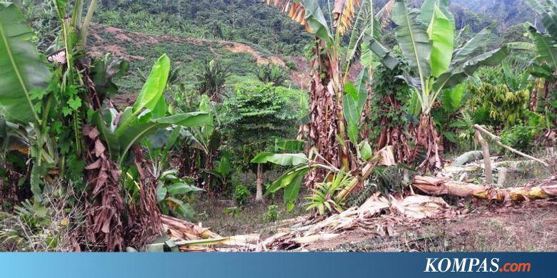 Kawanan Gajah Liar Rusak 4 Gubuk dan Belasan Hektare Kebun Petani