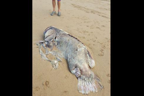 Ikan 150 Kg Terdampar di Australia, Spesiesnya Masih Misteri