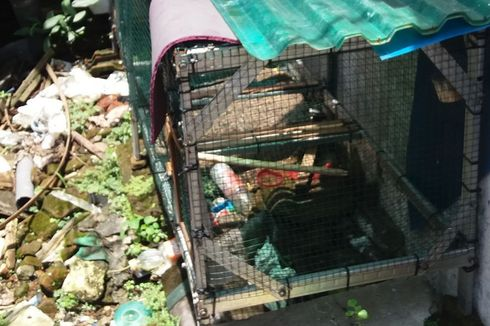 Piton Sepanjang 3 Meter Lepas dari Kandang, Warga Kampung Resah